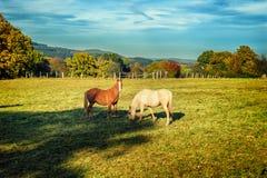 Paarden bij het gebied van het de zomerlandbouwbedrijf Stock Afbeelding