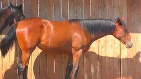 Paarden bij het landbouwbedrijf stock footage