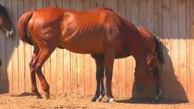 Paarden bij het landbouwbedrijf stock video