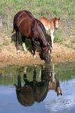 Paarden bij Vijver Royalty-vrije Stock Foto