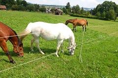Paarden bij Weiland Stock Foto's