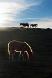Paarden bij zonsondergang Stock Afbeeldingen