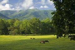 Paarden, Cades Inham, Groot Rokerig Mtns Nationaal Park, TN royalty-vrije stock afbeelding