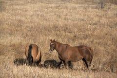 Paarden in dalingsweiland Royalty-vrije Stock Afbeeldingen