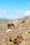 Paarden in de bergen van de Pyreneeën, Spanje Royalty-vrije Stock Afbeeldingen