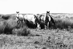 Paarden in de gebiedsprovincie Clare Ireland 4 Stock Fotografie