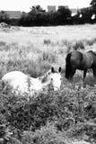 Paarden in de gebiedsprovincie Clare Ireland 2 Stock Afbeelding