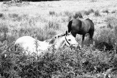 Paarden in de gebiedsprovincie Clare Ireland 1 Stock Foto