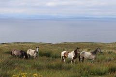 Paarden in de gebiedsprovincie Clare Ireland 5 Royalty-vrije Stock Fotografie