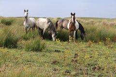 Paarden in de gebiedsprovincie Clare Ireland 3 Royalty-vrije Stock Foto's