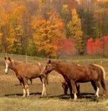 Paarden in de herfst Stock Afbeeldingen