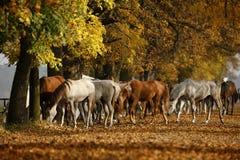 Paarden in de herfst Royalty-vrije Stock Foto's