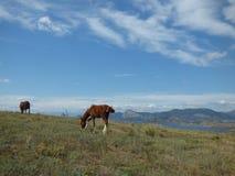 Paarden in de Krim Royalty-vrije Stock Foto's