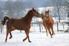 Paarden in de sneeuw Stock Afbeelding