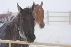 Paarden in de sneeuw. Stock Afbeelding