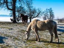 Paarden in de sneeuw Stock Foto's