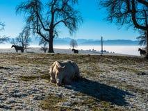 Paarden in de sneeuw Stock Foto