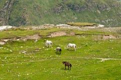 Paarden in de vallei Royalty-vrije Stock Afbeeldingen