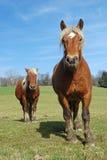 Paarden in de weide Royalty-vrije Stock Afbeeldingen