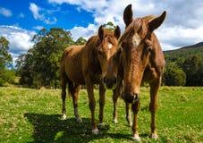 Paarden in de weide Sluit omhoog Stock Afbeelding