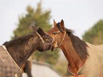 Paarden in de winter Royalty-vrije Stock Fotografie