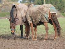 Paarden in de winter Royalty-vrije Stock Afbeeldingen