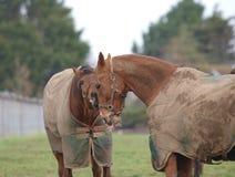 Paarden in de winter Stock Afbeelding