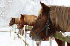 Paarden in de winter Stock Foto's