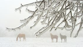 Paarden in de winter Stock Foto