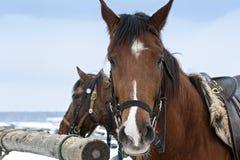 Paarden in de winter in openlucht Royalty-vrije Stock Afbeeldingen