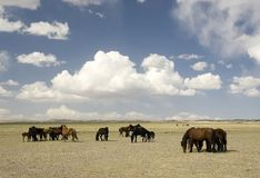 Paarden in de woestijn van Gobi royalty-vrije stock foto's