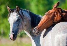Paarden in de zomer royalty-vrije stock foto
