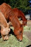 Paarden die 2 voeden Stock Afbeelding