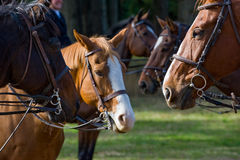 Paarden die berijdende kopspijker dragen Stock Foto's
