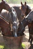 Paarden die close-up drinken stock afbeeldingen