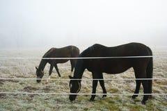 Paarden die de Gebiedenwinter weiden Royalty-vrije Stock Afbeeldingen