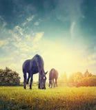 Paarden die in de herfstweide weiden op gestemde achtergrond van bomen en hemel, Royalty-vrije Stock Afbeelding