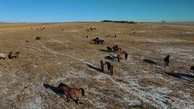 Paarden die de herfstweiland doornemen door luchthommel stock videobeelden