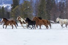 Paarden die in de sneeuw lopen Royalty-vrije Stock Afbeeldingen