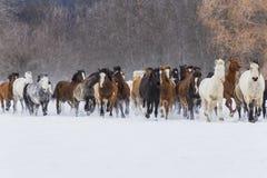 Paarden die in de sneeuw lopen Stock Afbeelding