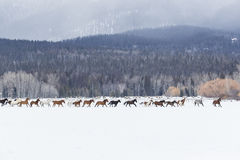 Paarden die in de sneeuw lopen Stock Foto's