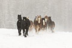 Paarden die in de sneeuw lopen Stock Fotografie