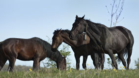 Paarden die in de weide weiden Royalty-vrije Stock Afbeeldingen