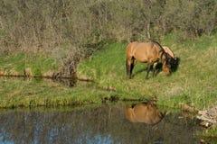 Paarden die door rivier weiden Stock Afbeeldingen