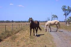 Paarden die in droog land weiden Stock Afbeeldingen