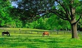 Paarden die in een landelijk landbouwbedrijfweiland weiden Royalty-vrije Stock Afbeelding