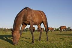 Paarden die in een weide weiden Royalty-vrije Stock Afbeelding