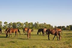 Paarden die in een weide weiden Stock Afbeelding