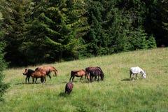 Paarden die in een weiland in de bergen weiden Royalty-vrije Stock Foto's
