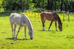Paarden die in een weiland weiden Royalty-vrije Stock Foto's